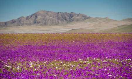 Flowers bloom at the Huasco region on the Atacama desert, some 600 km north of Santiago, on August 26,2017. In years of very heavy seasonal rains a natural phenomenon known as the Desert in Bloom occurs, making the seeds of some 200 desert plants to germinate suddenly some two months after the precipitations. / AFP PHOTO / MARTIN BERNETTI        (Photo credit should read MARTIN BERNETTI/AFP/Getty Images)